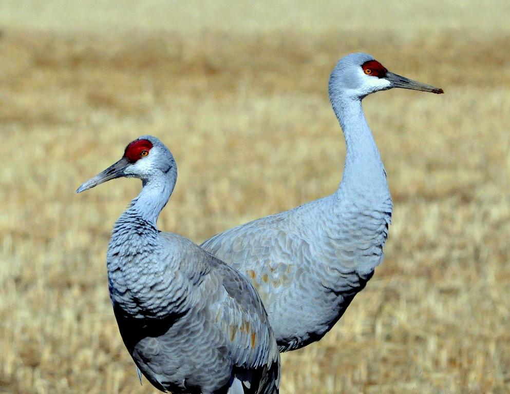 Sandhill Cranes | Albuquerque, New Mexico | December, 2010