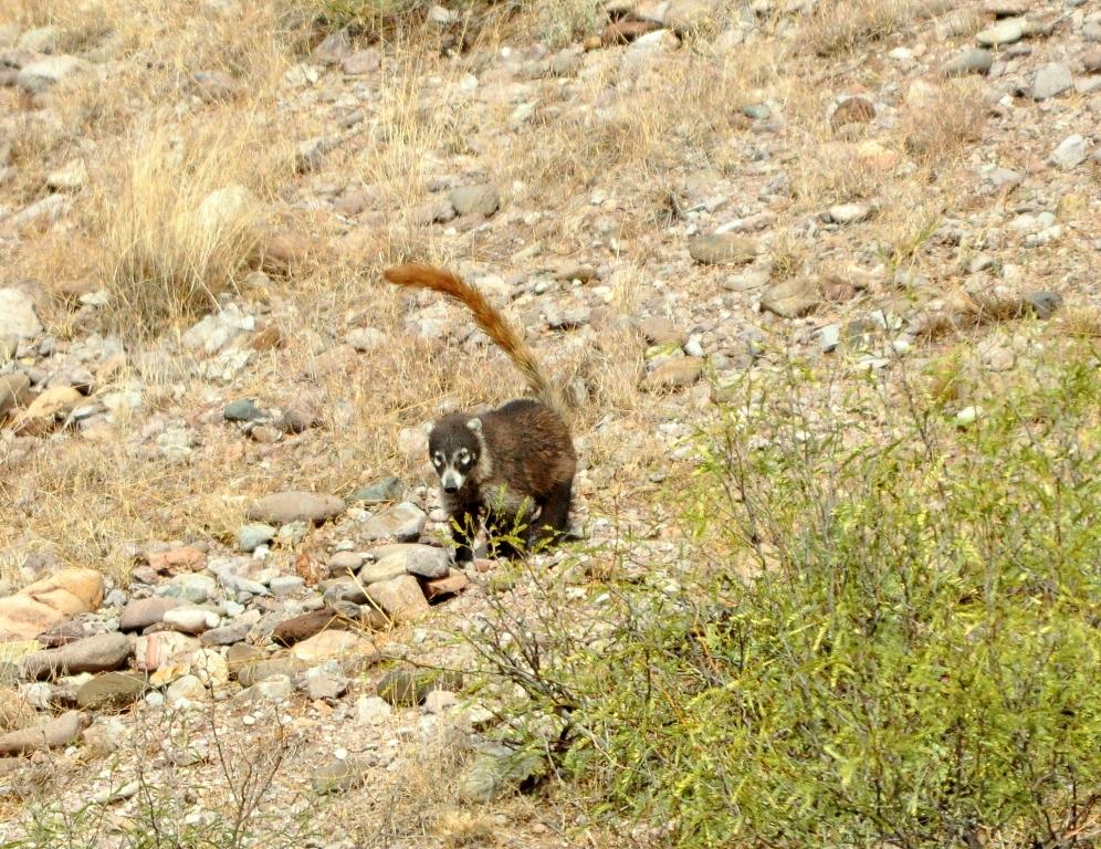 Coatimundi | Lordsburg, New Mexico | November, 2009