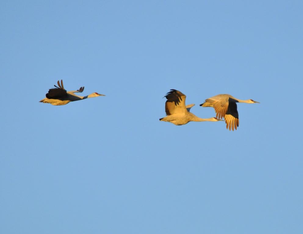 Sandhill Cranes | Bosque del Apache | January, 2011