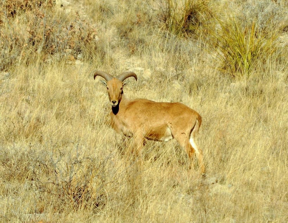 Barbary Sheep | Lincoln, New Mexico | February, 2011
