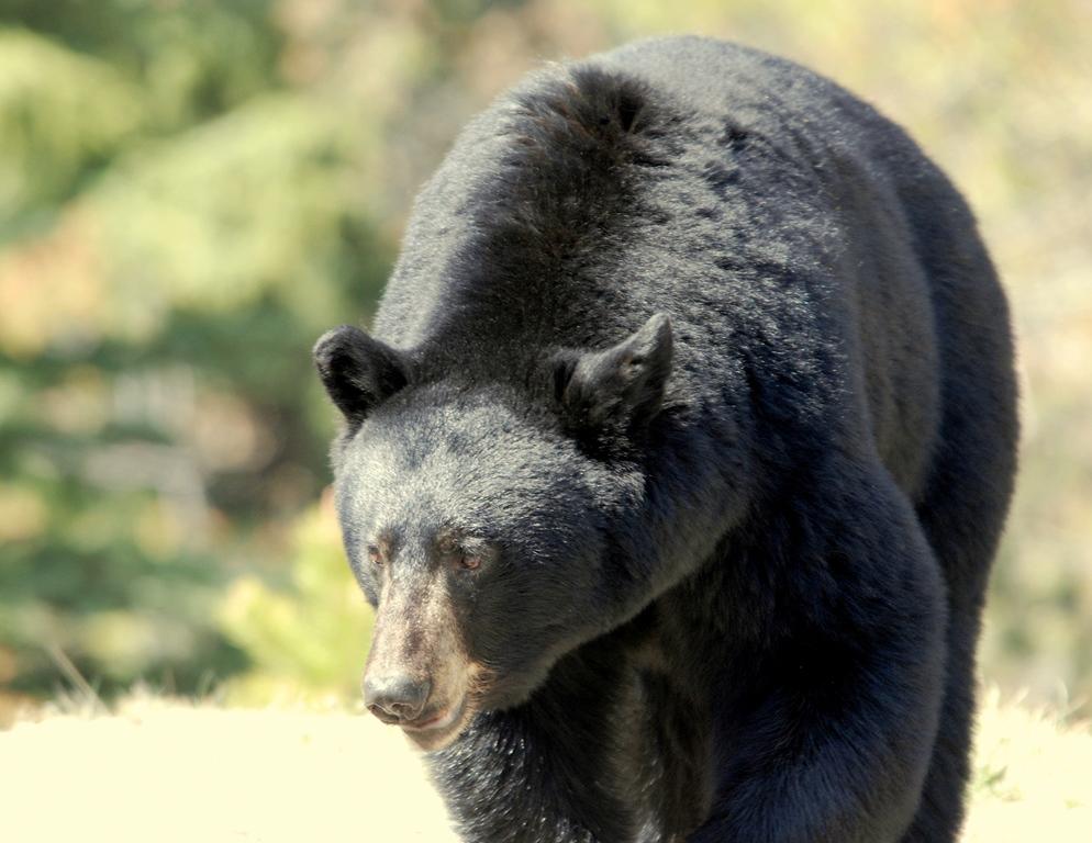 Black Bear | Jasper, Alberta | May, 2009