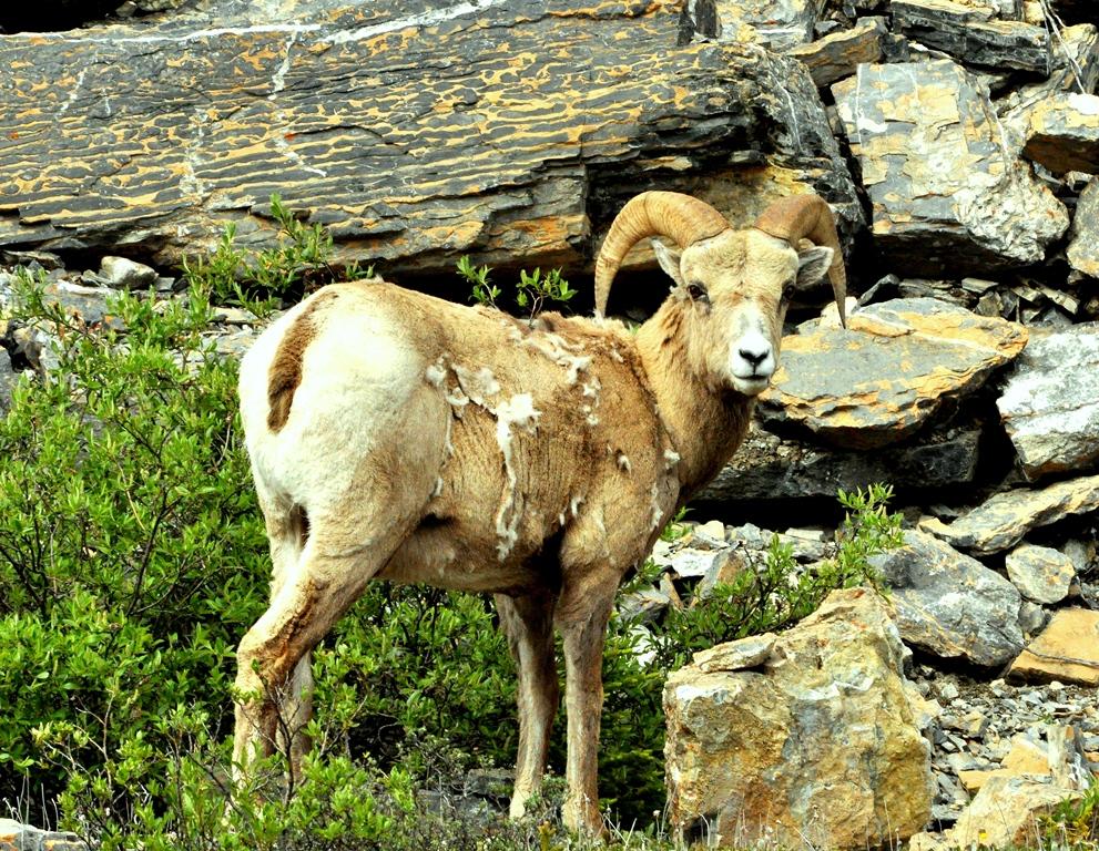 Bighorn Sheep – Ram | Jasper, Alberta | June, 2011