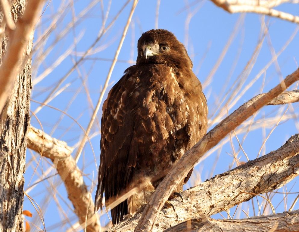 Red-tailed Hawk | Bosque del Apache | February, 2011