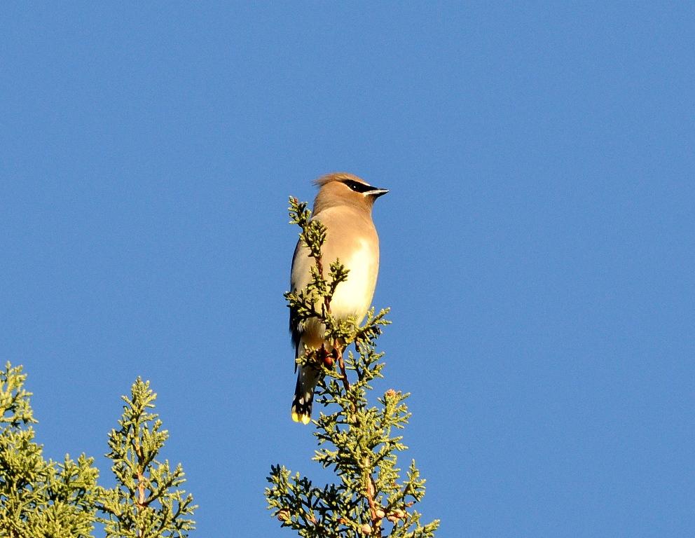 Cedar Waxwing | Lordsburg, New Mexico | November, 2011