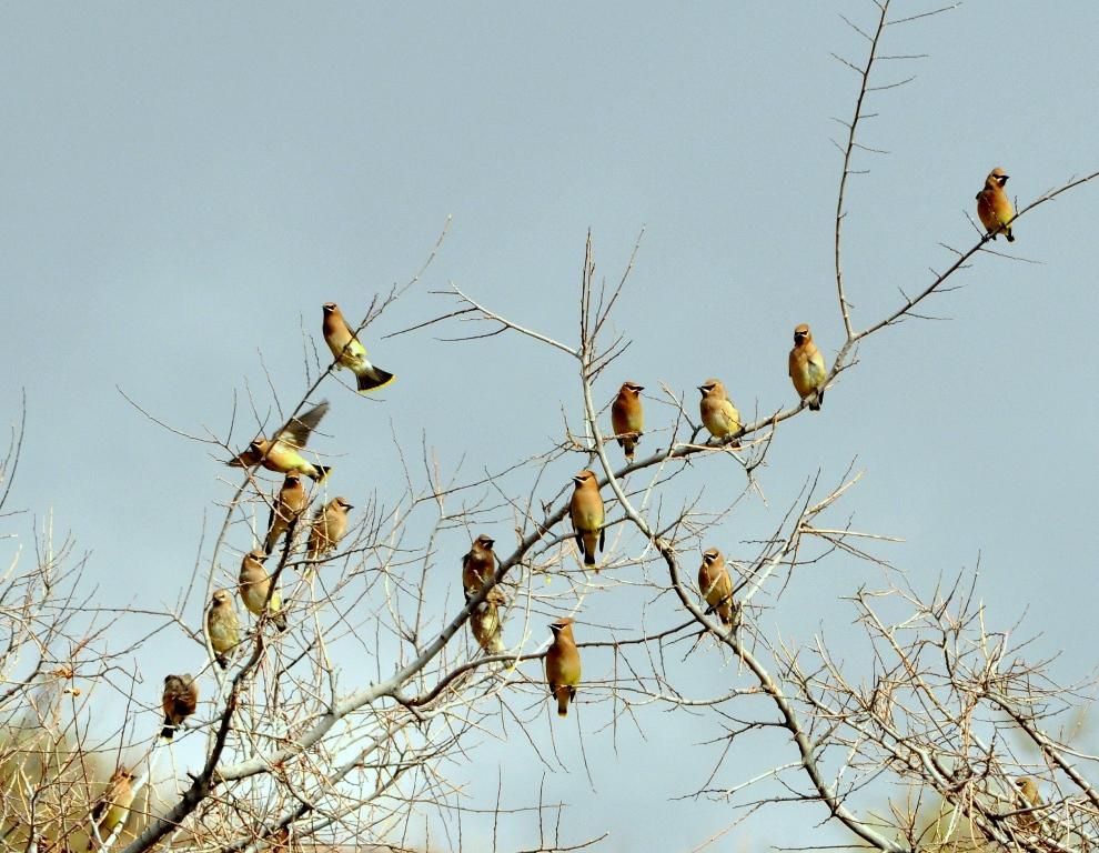 Cedar Waxwings | Lordsburg, New Mexico | November 2011