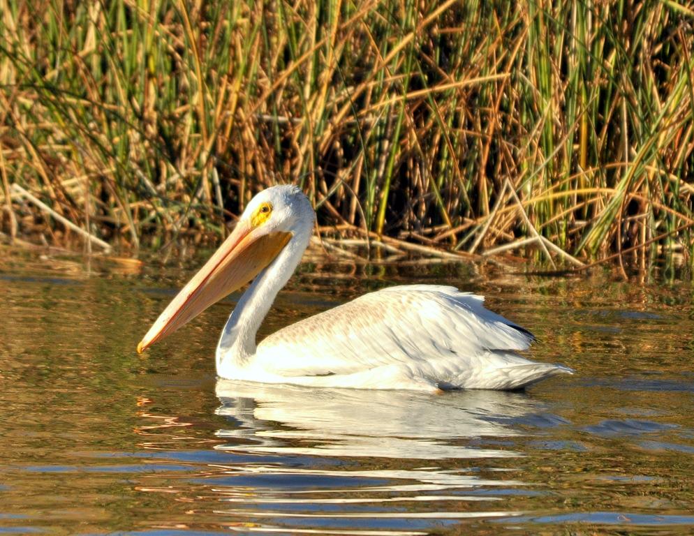 American White Pelican | Bear River Bird Refuge | September, 2011