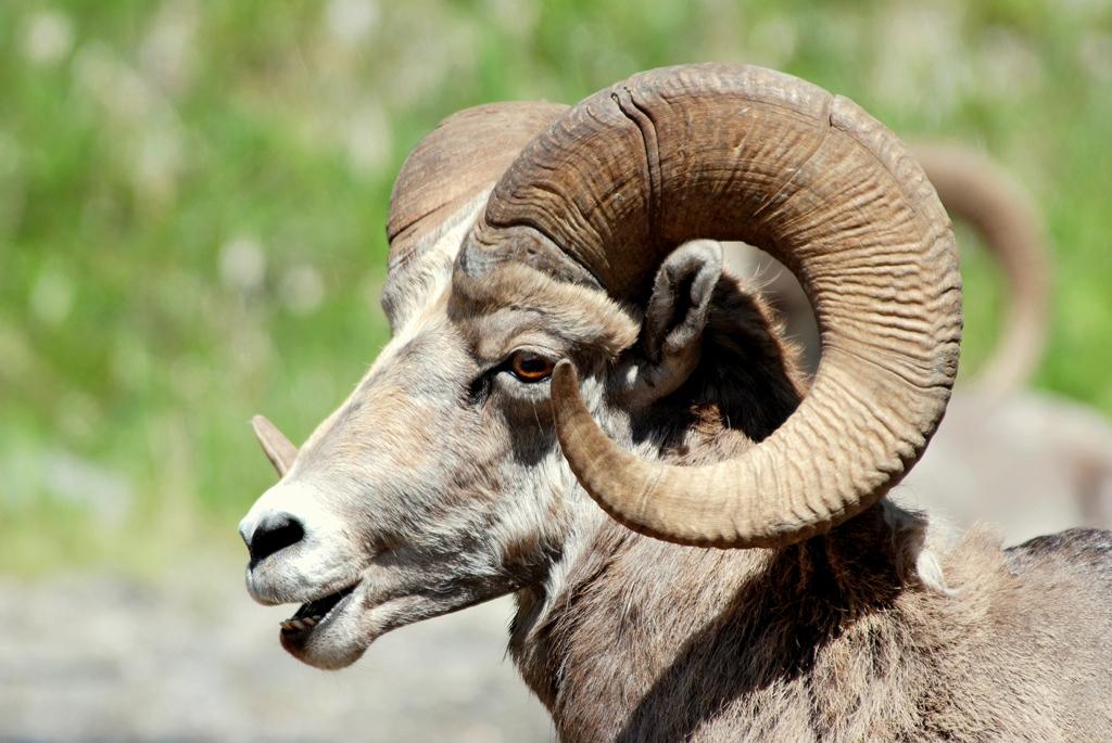 Bighorn Sheep – Ram | Radium Hot Springs, British Columbia | June, 2009