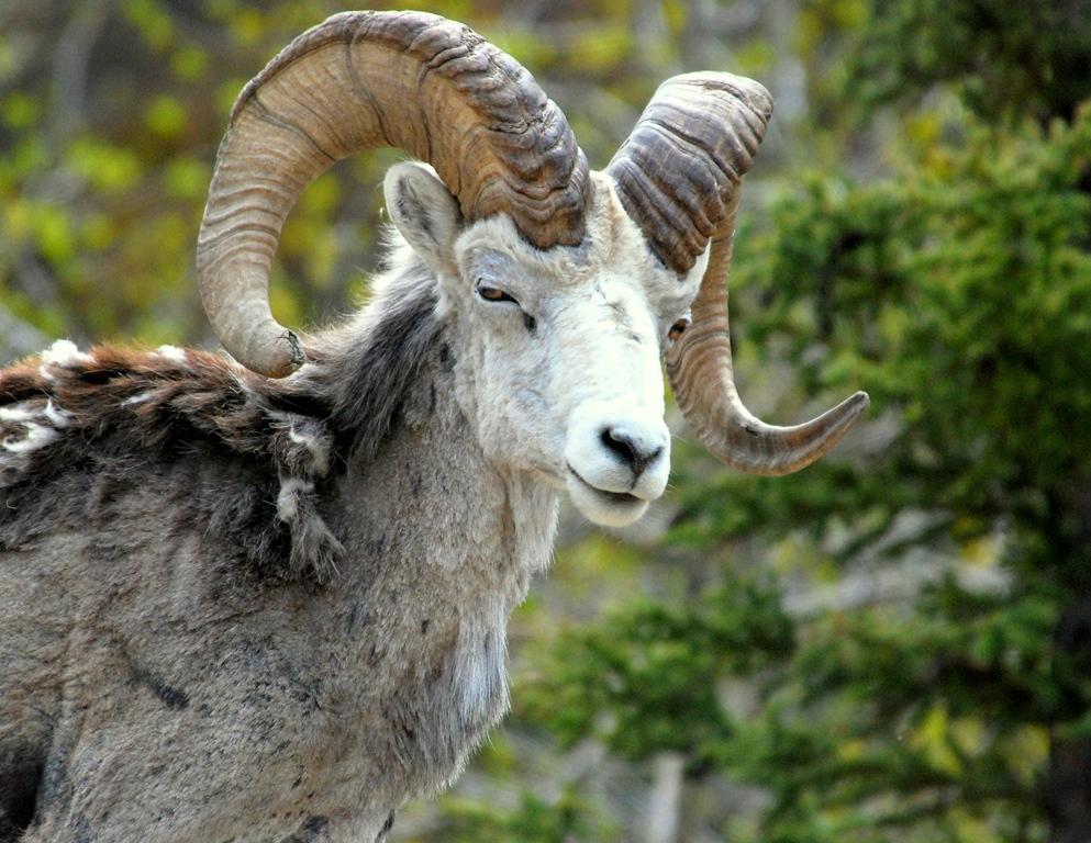 Stone Sheep – Ram | Fort Nelson, British Columbia | May, 2009
