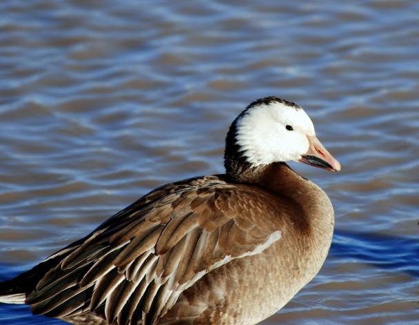 Snow Goose   Bosque del Apache   February, 2009