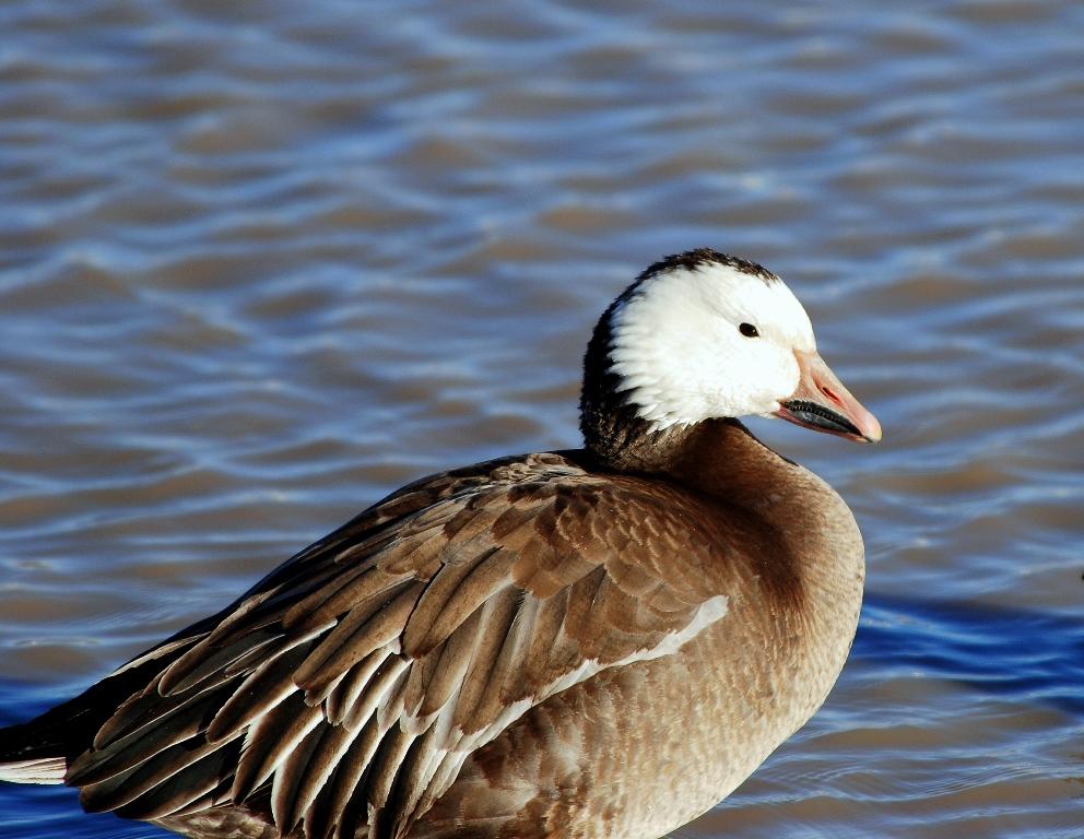 Snow Goose | Bosque del Apache | February, 2009