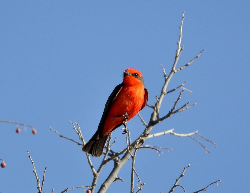 Vermilion Flycatcher – Male   Carlsbad, New Mexico   April, 2011