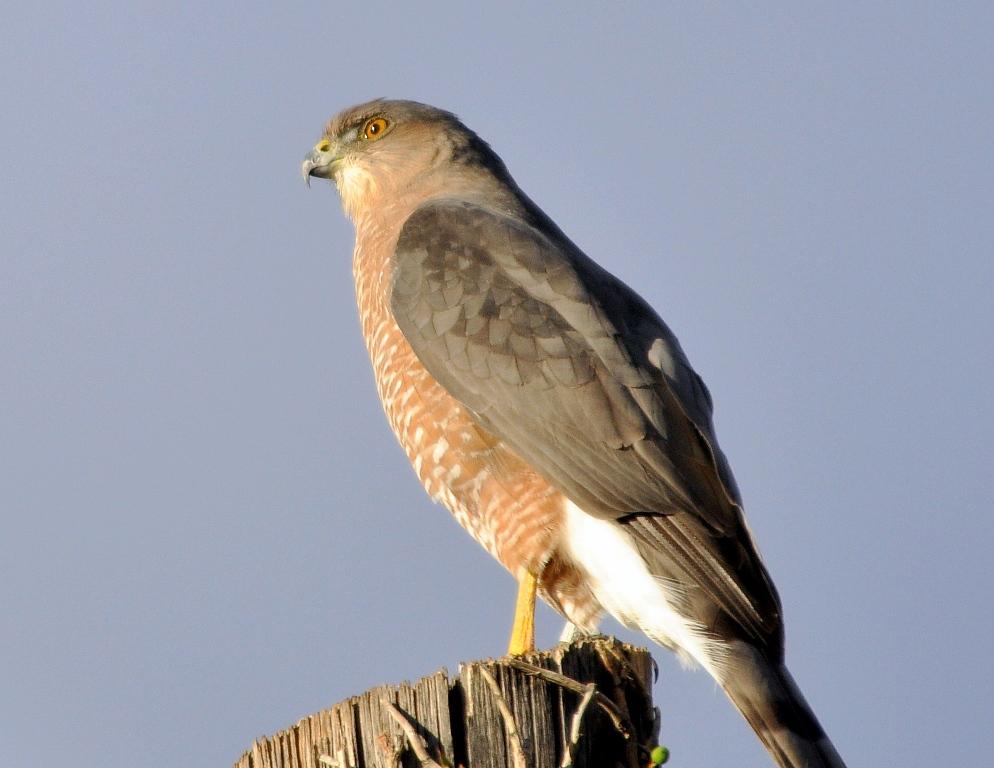 Cooper's Hawk | Albuquerque, New Mexico | October, 2011