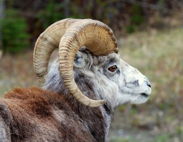 Stone Sheep – Ram   Fort Nelson, British Columbia   May, 2009