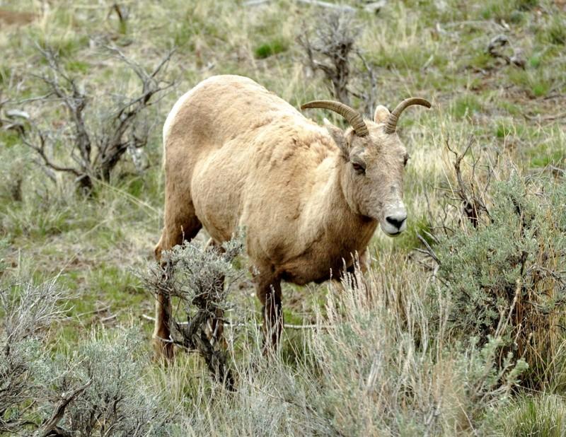 Bighorn – Ewe | Yellowstone National Park | May, 2011