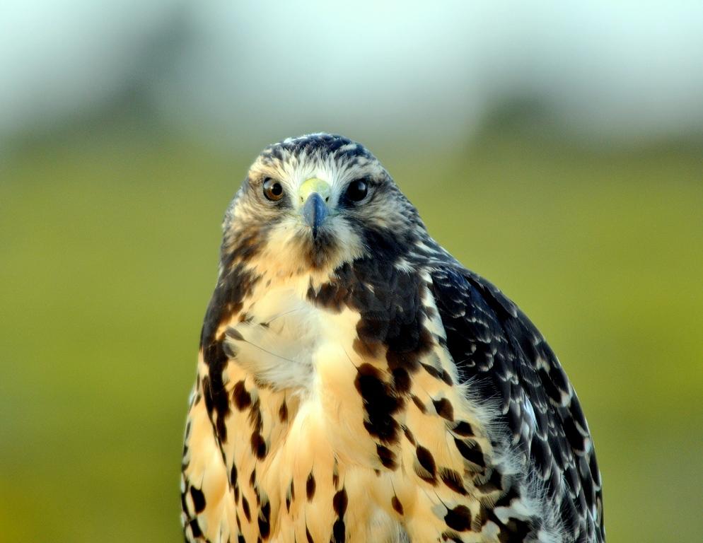 Swainson's Hawk – Immature | Alamosa, Colorado | September, 2010
