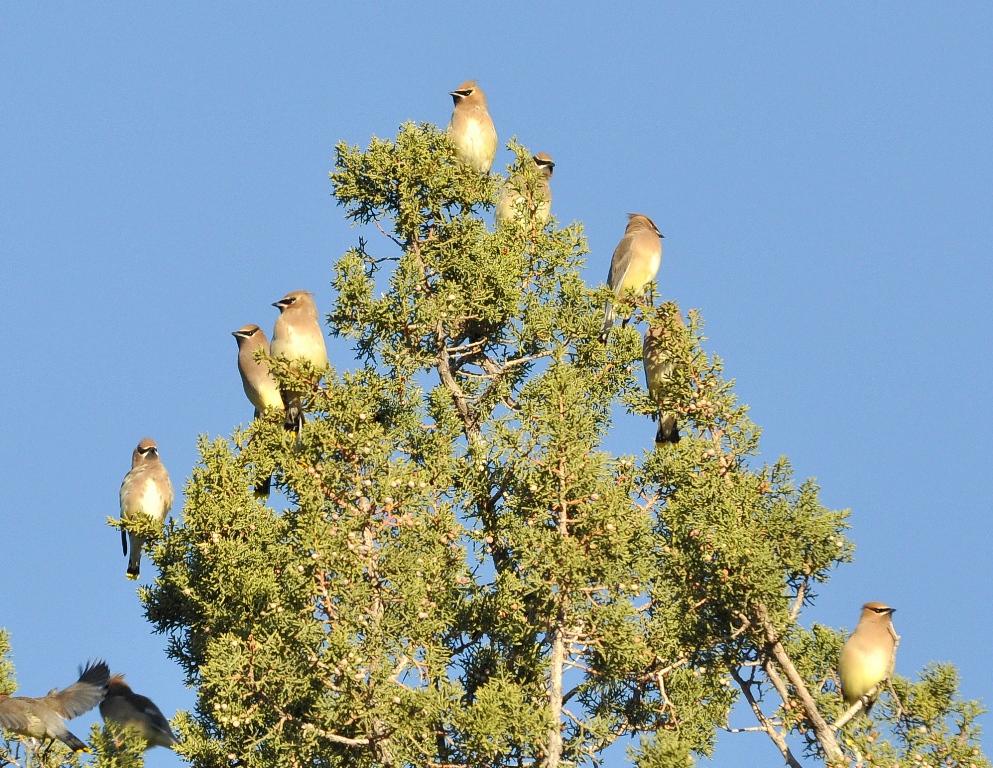 Cedar Waxwings | Lordsburg, New Mexico | November, 2011