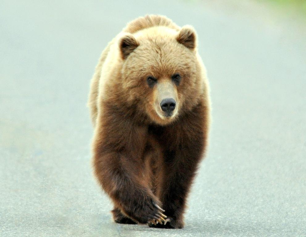 Grizzly Bear | Denali National Park | May, 2011