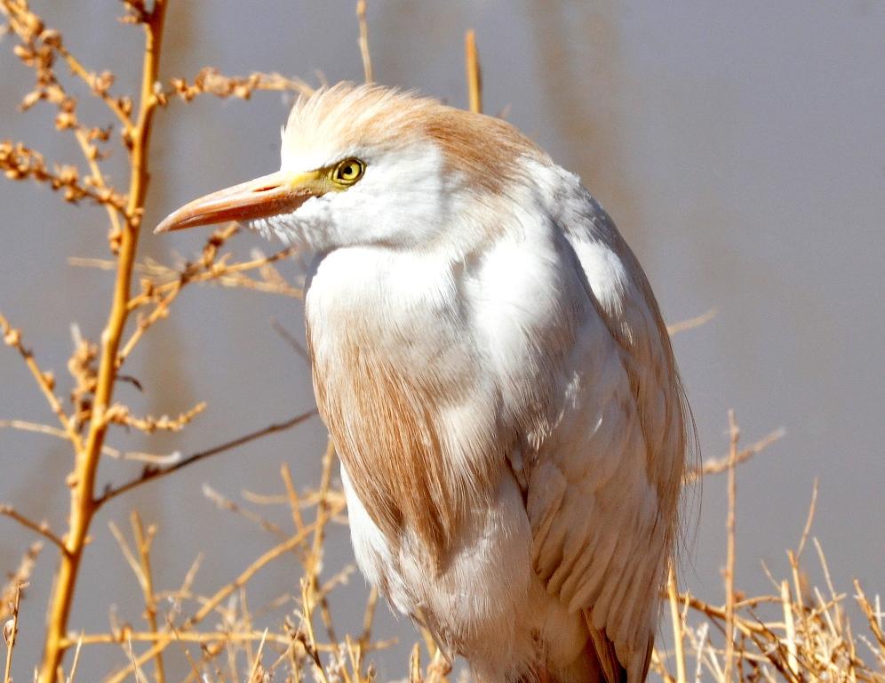 Cattle Egret | Bosque del Apache | April, 2011