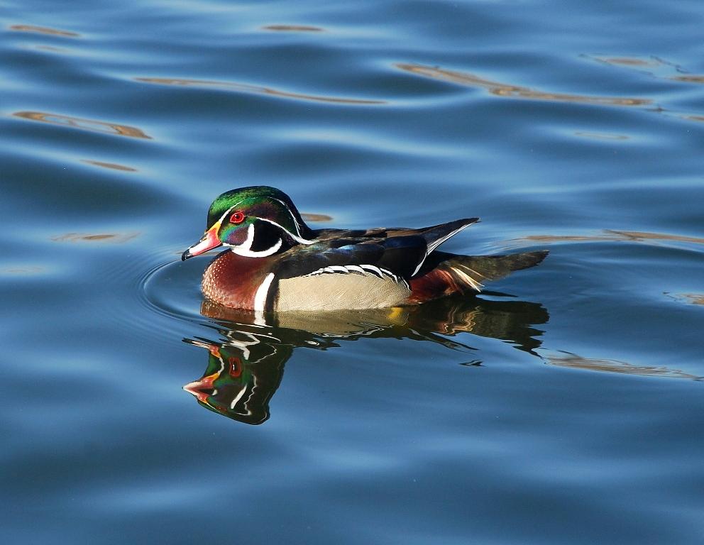 Wood Duck – Male | Albuquerque, New Mexico | February, 2012