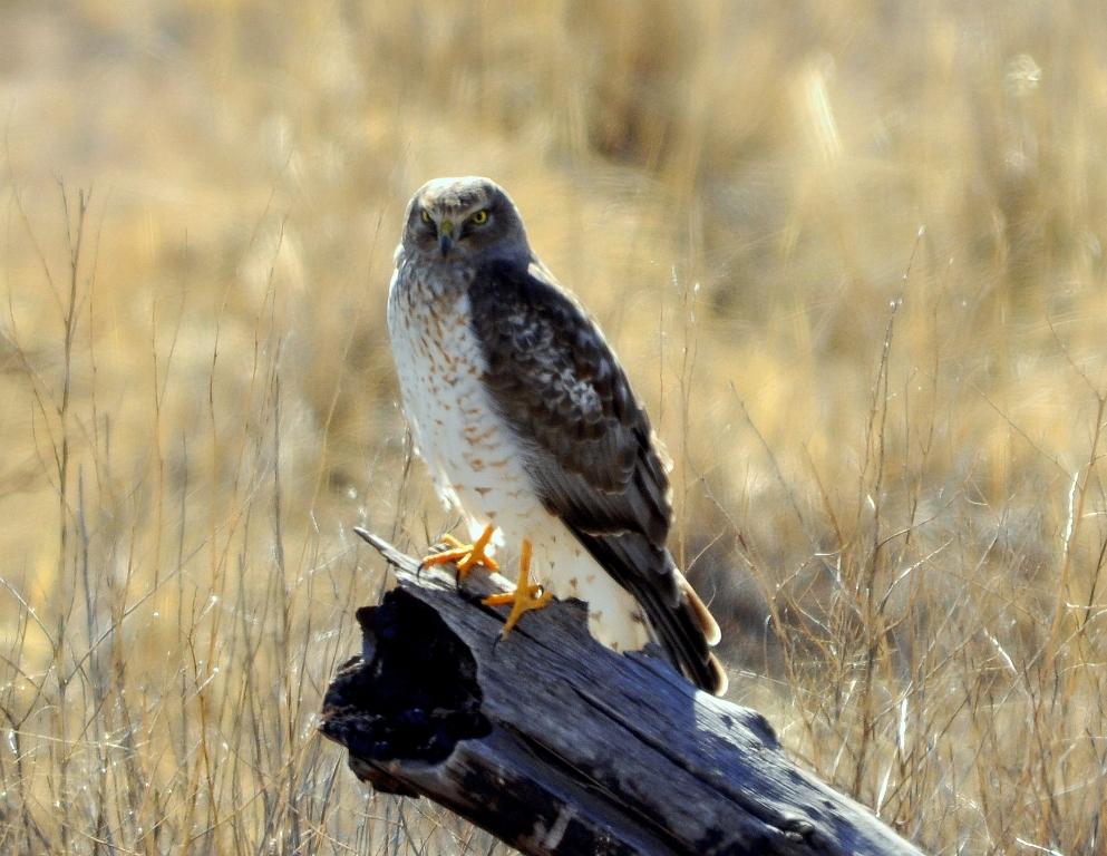 Northern Harrier –  Male | Bosque del Apache | February, 2012