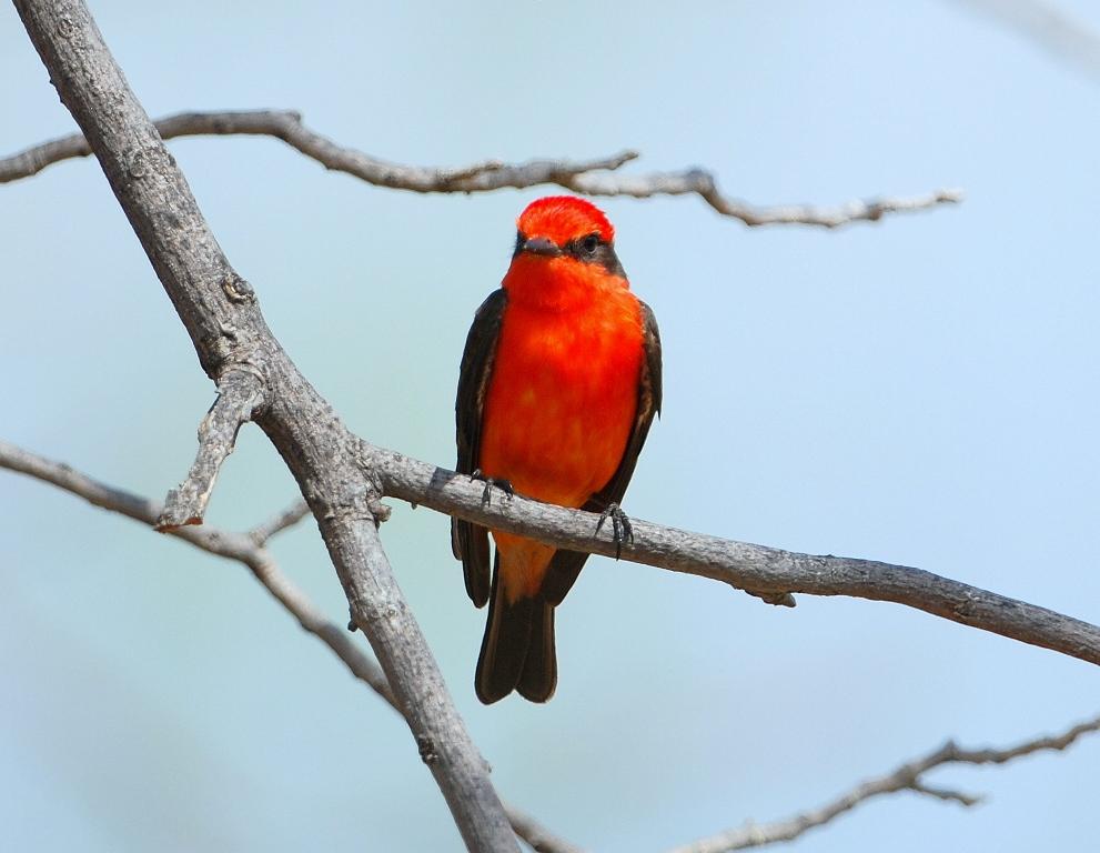 Vermilion Flycatcher – Male   Carlsbad, New Mexico   April, 2012