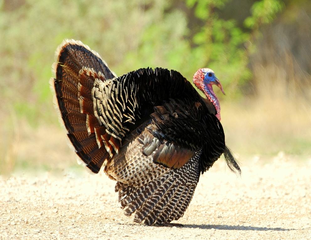 Wild Turkey – Male | Carlsbad, New Mexico | April, 2012
