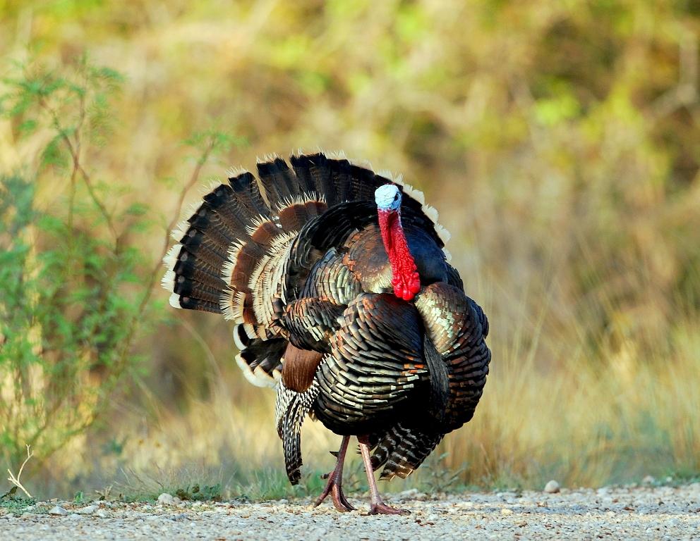 Wild Turkey – Male | Carlsbad, New Mexico | April,2012