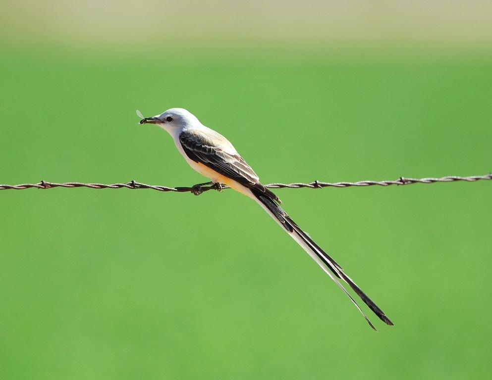 Scissor-tailed Flycatcher – Male | Carlsbad, New Mexico | April, 2012