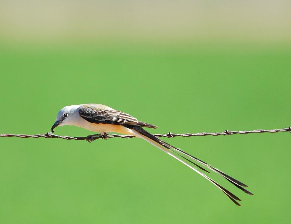 Scissor-tailed Flycatcher | Carlsbad, New Mexico | April, 2012