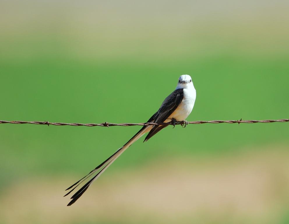 Scissor-tailed Flycatcher – Male | Carlsbad, New Mexico | April,2012
