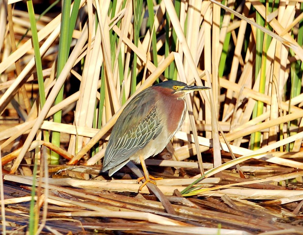 Green Heron | Bosque del Apache | April, 2012