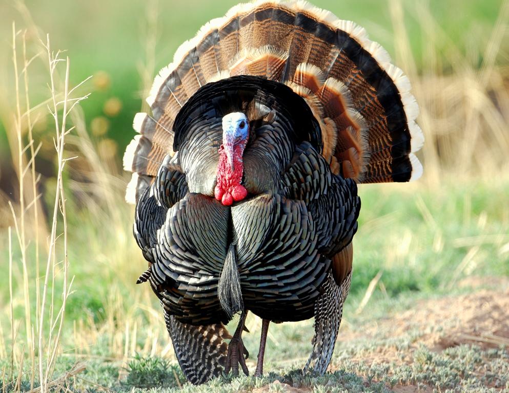 Wild Turkey – Gobbler | Bosque del Apache | April, 2012