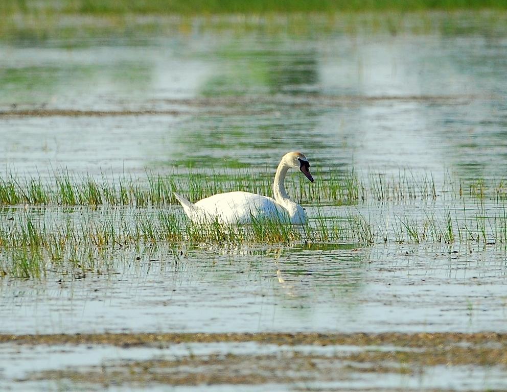 Mute Swan | Bosque del Apache | April, 2012