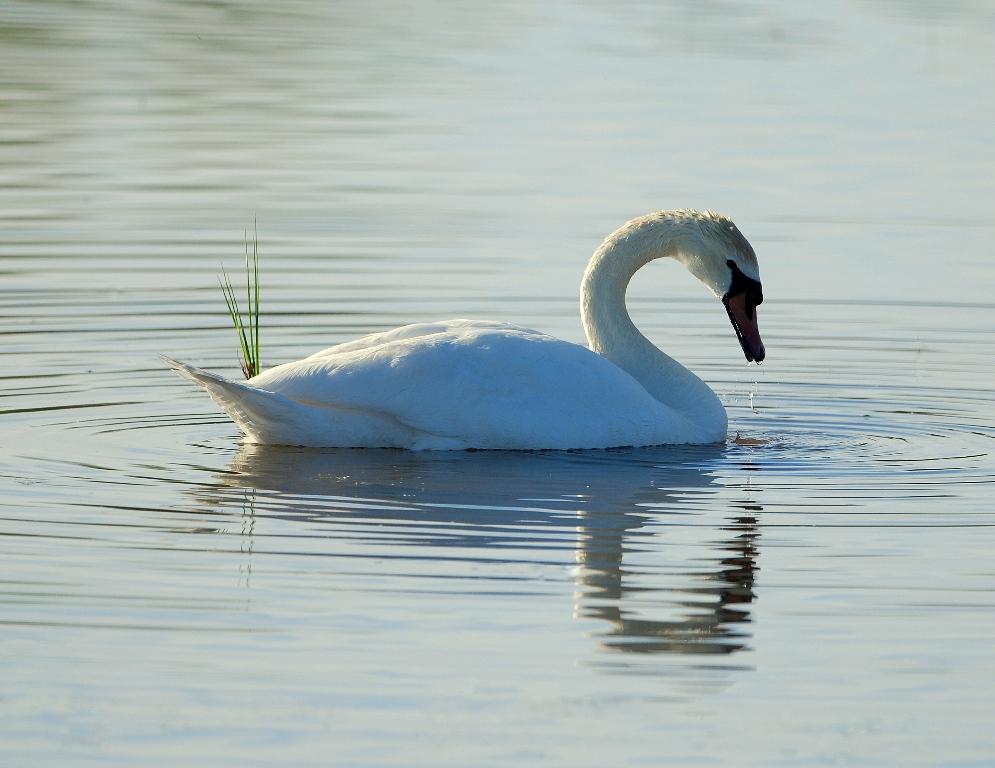 Mute Swan | Bosque del Apache | May, 2012