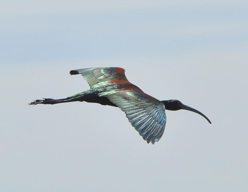 White-faced Ibis | Bosque del Apache | April, 2012