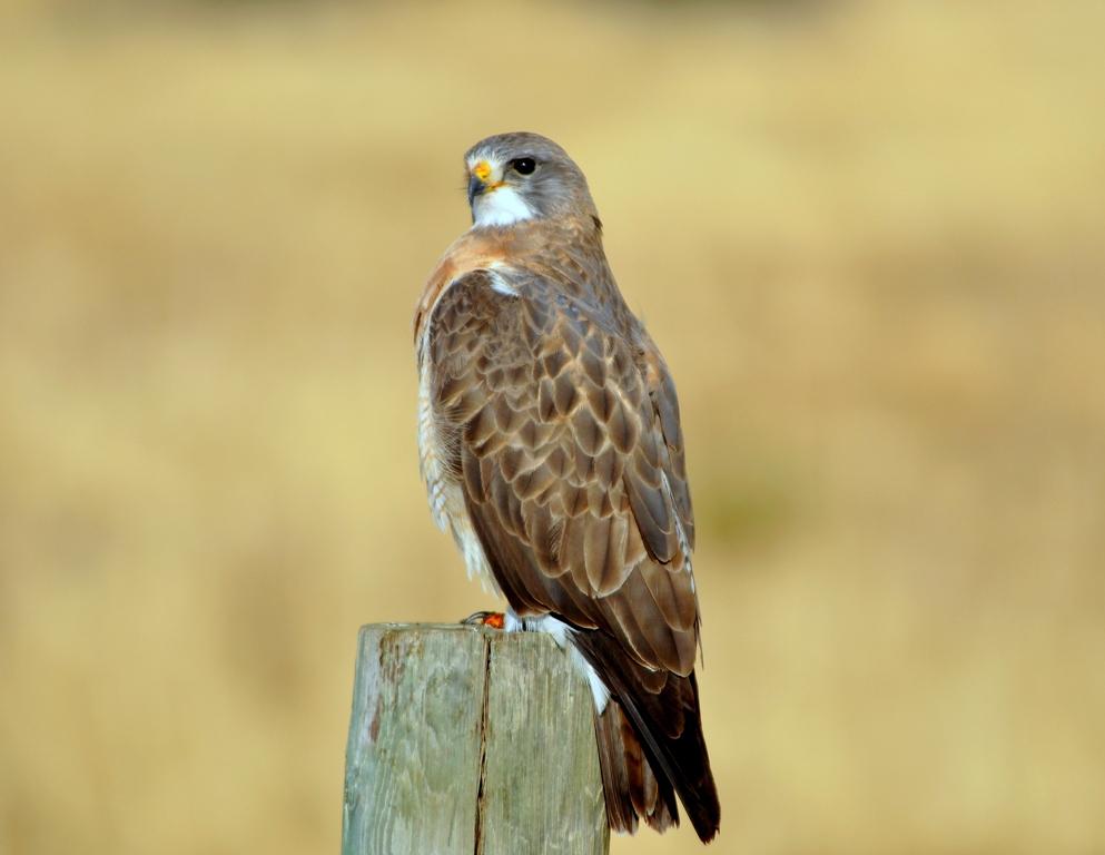 Swainson`s Hawk | Walden, Colorado | May, 2012