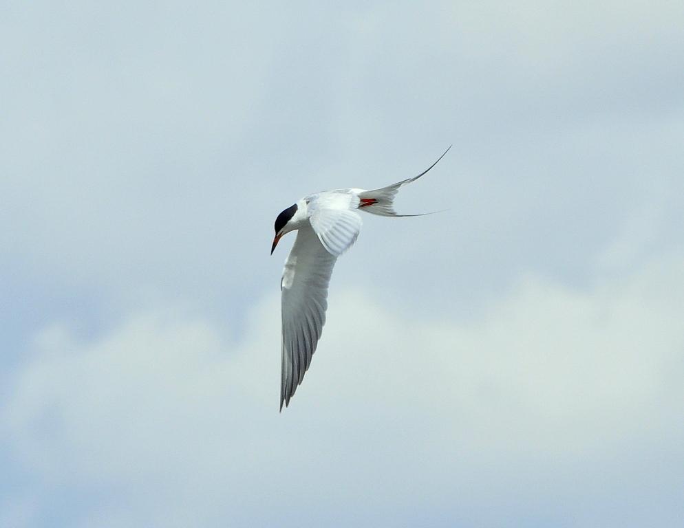 Forster`s Tern | Walden, Colorado | May, 2012