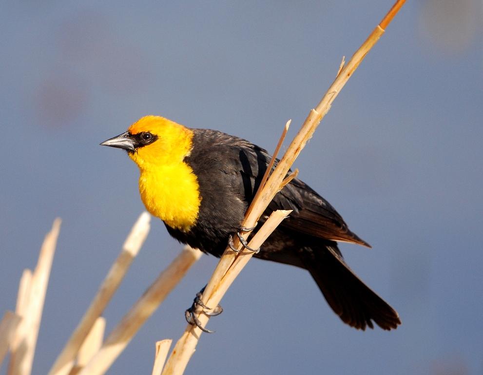 Yellow-headed Blackbird – Male | Walden, Colorado | May, 2012