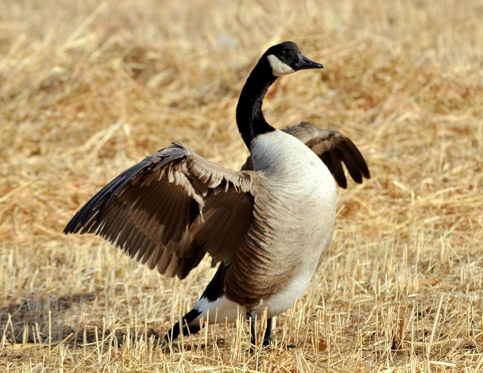 Canada Goose | Albuquerque, New Mexico | December, 2010