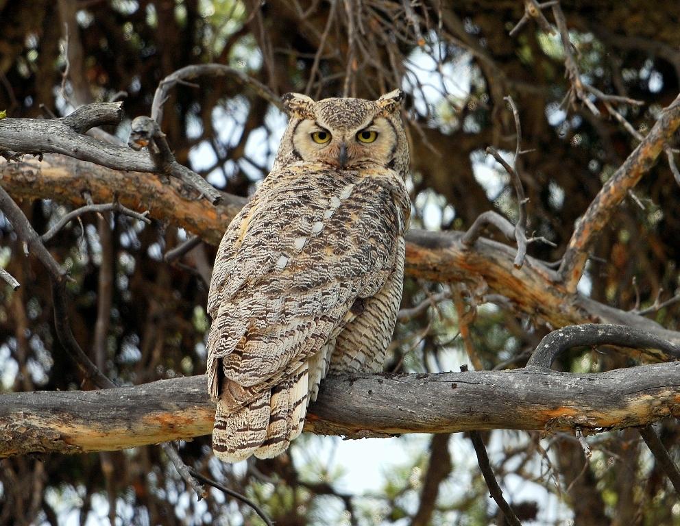Great Horned Owl | Burgess Junction, Wyoming | June, 2012