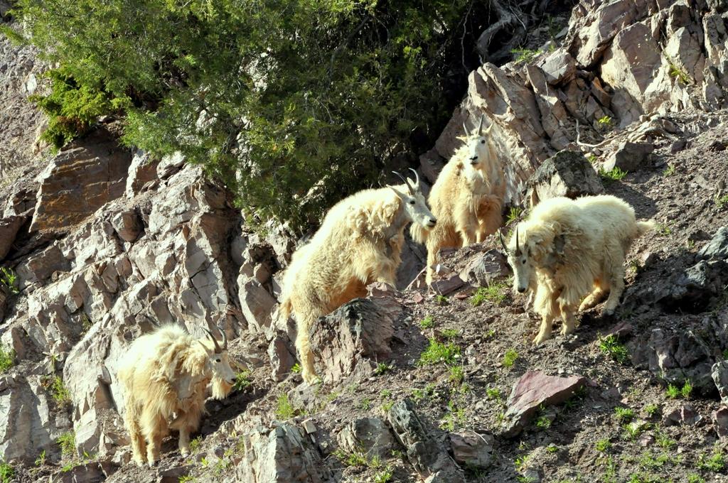 Mountain Goats   Glacier National Park   June, 2012