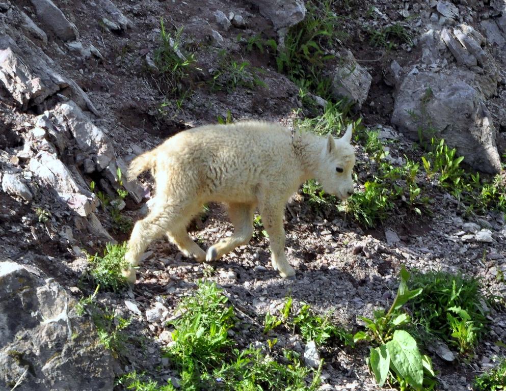 Mountain Goat – Kid   Glacier National Park   June, 2012