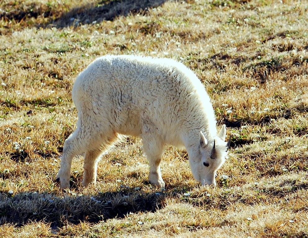 Mountain Goat – Immature | Bear Tooth Pass, Montana | June, 2012