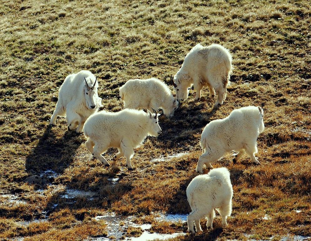Mountain Goats | Bear Tooth Pass, Montana | June, 2012