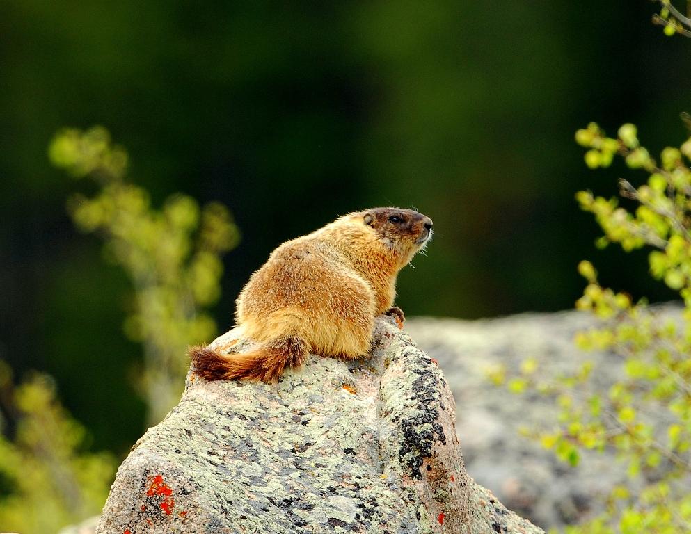 Marmot – Yellow-bellied | Burgess Junction, Wyoming | June, 2012