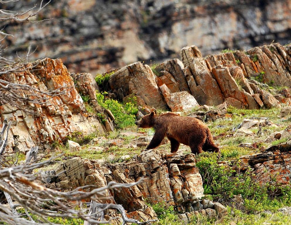 Grizzly Bear | Glacier National Park | June, 2012