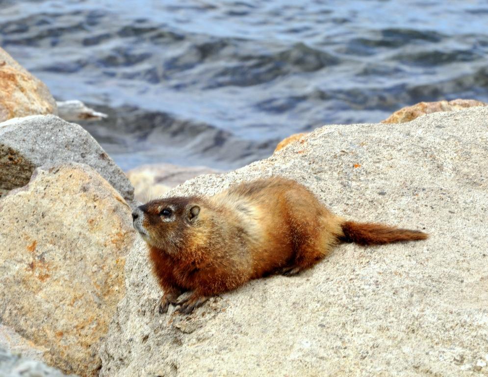 Marmot – Yellow-bellied | Yellowstone National Park | June,2012