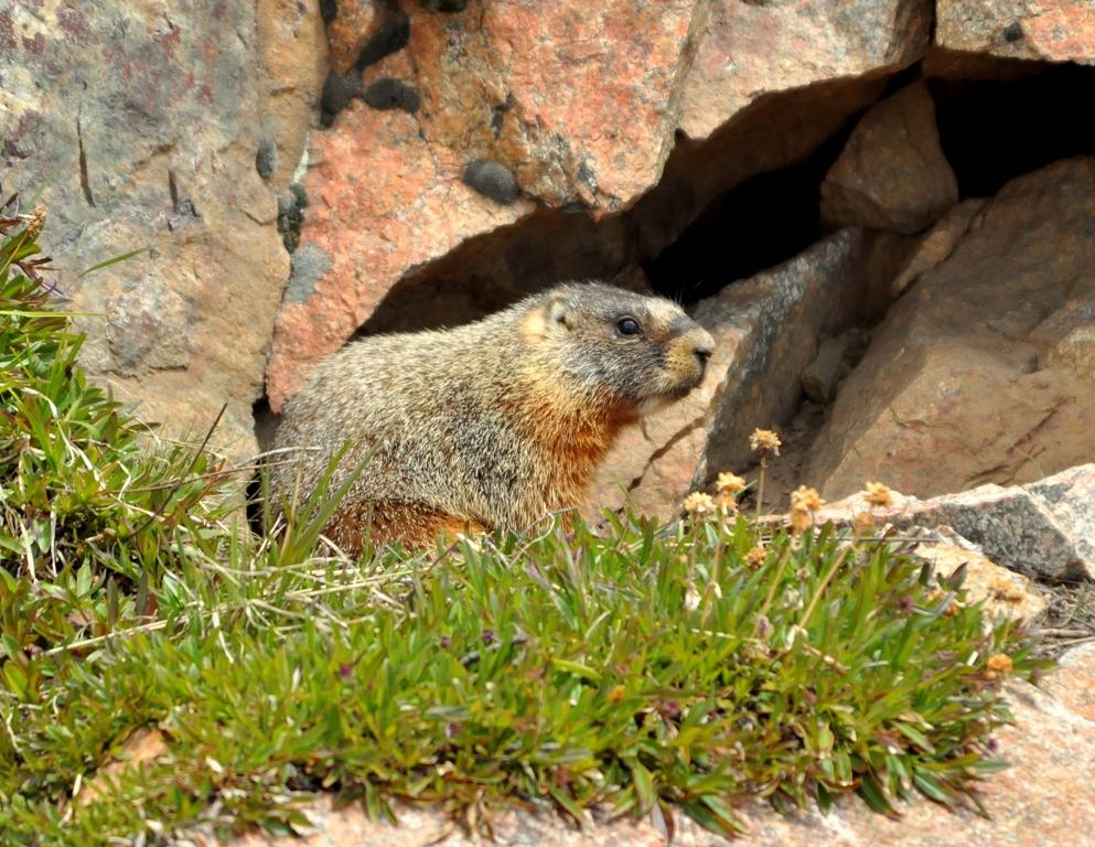 Marmot – Yellow-bellied | Bear Tooth Pass, Montana | June, 2012