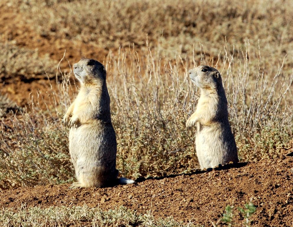 Prairie Dog – White-tailed | Walden, Colorado | June, 2012