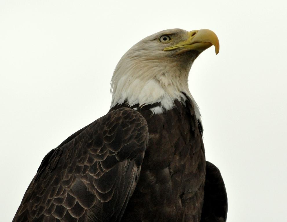 Bald Eagle | Homer, Alaska | June, 2011